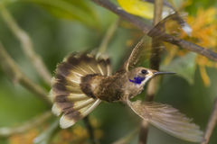 W locie Brown Hummingbird Violetear Zdjęcia Stock