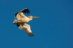 W locie różowy Pelikan Zdjęcia Royalty Free