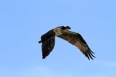 W locie rybołowa ptak Obraz Royalty Free