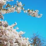 w London parku biali drzewa i okwitnięcia kwiaty naturalni Obrazy Royalty Free