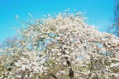 w London parku biali drzewa i okwitnięcia kwiaty naturalni Obrazy Stock