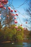 w London parku różowi drzewa i okwitnięcia kwiaty Zdjęcie Royalty Free