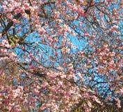 w London parku różowi drzewa i okwitnięcia kwiaty naturalni Zdjęcia Royalty Free