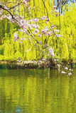 w London parku różowi drzewa i okwitnięcia kwiaty naturalni Fotografia Stock