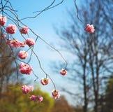 w London parku różowi drzewa i okwitnięcia kwiaty naturalni Obrazy Royalty Free