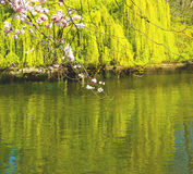 w London parku różowi drzewa i okwitnięcia kwiaty naturalni Obrazy Stock