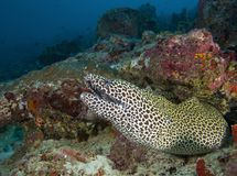 W Maldives jest piękny podwodny rybi lamparta wzór, bóg tworzący piękny Obraz Royalty Free