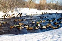 W marznięcie rzece wiele mallards pływanie zdjęcie stock