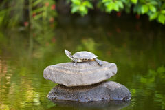 Żółw mały na kamieniu Obrazy Royalty Free