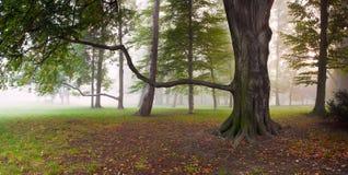 W mgłowym parku możny Bukowy Drzewo Obraz Royalty Free