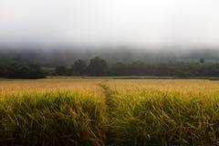 W mgły tle Rice pole Zdjęcia Stock