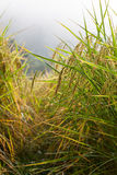 W mgły tle Rice pole Obrazy Stock