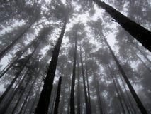 W Mgle wysocy Drzewa fotografia royalty free