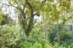 W mgłowym halnym tropikalnym lesie deszczowym w Uganda Obraz Stock