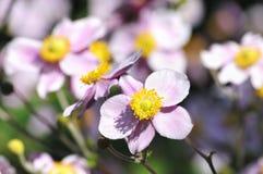 W miasto ogródzie anemonowy kwiat Obraz Stock