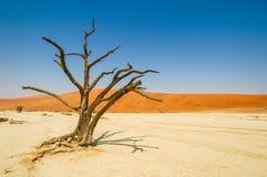 W Namib pustyni więdnący drzewo Zdjęcie Royalty Free