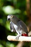 W natury otaczaniu Popielata afrykanin papuga Obrazy Royalty Free