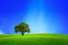 W naturze dębowy drzewo Zdjęcie Royalty Free