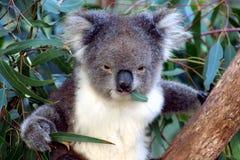 w obliczu koali australii Fotografia Royalty Free