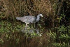 w obliczu white heron Zdjęcia Royalty Free
