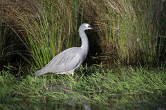 w obliczu white heron Fotografia Stock