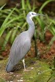 w obliczu white heron Obraz Royalty Free