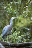 w obliczu white heron Obrazy Stock