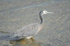 w obliczu white heron Obraz Stock
