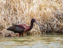 w obliczu white ibisa Zdjęcie Stock