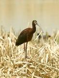 w obliczu white ibisa Obraz Stock