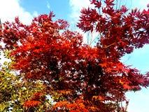 Włochy, Bardolino, Czerwony Klonowy drzewo obraz stock