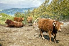 Włochy, Emilia Romagna krowa w kraju Obraz Stock