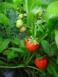 W ogródzie jagoda zielony i czerwony krzak Obrazy Stock