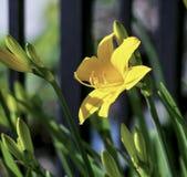 W ogródzie kwitnącym jasnożółta leluja zdjęcia royalty free