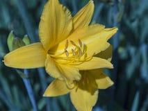 W ogródzie kwitnącym jasnożółta leluja zdjęcie stock