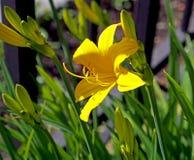 W ogródzie kwitnącym jasnożółta leluja obrazy stock