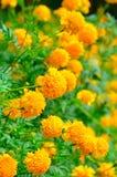 W ogródzie nagietka kwiat Zdjęcie Royalty Free
