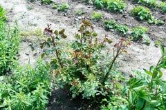 W ogródzie, narastające krzak róże, ale no kwitną Krzak róże w wczesnej wiośnie Przycinający różę i nawożący obraz royalty free