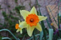W ogródzie piękny żółty kwiat Zdjęcia Stock