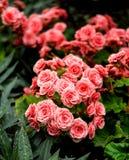 W ogródzie piękni czerwoni kwiaty Obraz Stock