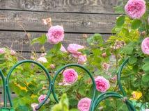 W ogródzie różowe róże Zdjęcie Royalty Free