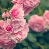 W ogródzie różowe róże Zdjęcia Royalty Free