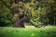 W ogródzie starzy dęby Fotografia Royalty Free