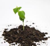 W ogródzie zielony ogórkowy dorośnięcie Zdjęcia Stock