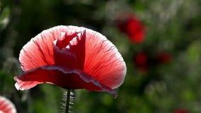 W ogrodowych okwitnięcie maczkach Purpury, menchie, czerwień, różnego †'maczek zdjęcie wideo
