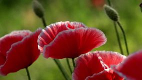 W ogrodowych okwitnięcie maczkach Purpury, menchie, czerwień, różnego †'maczek zbiory