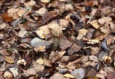 W opóźnionej jesień brzozy pieczarka. Zdjęcie Royalty Free