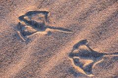 W Oregon Seagull Odcisk stopy Obraz Royalty Free