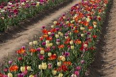 Włoscy tulipany Zdjęcie Royalty Free