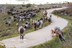Włoski krowy stado Zdjęcie Stock